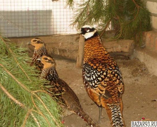 Продам королевских и северокавказских фазанов