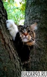 Кот Мейн кун вязка