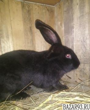 Продам 2 кролей самцов немецких строкачей