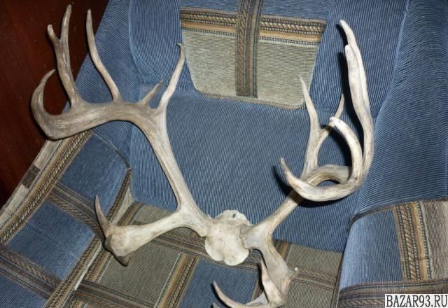 Продам рога благородного оленя