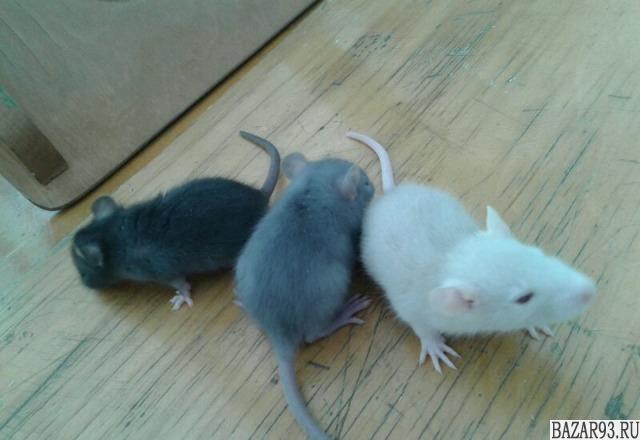 Крысята и хомячки