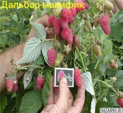 "Саженцы малины на ""Осень 2017 оптом"""