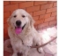 Ищу собаку порода Золотистый Ретривер