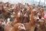 Рыжие несушки 8 мес