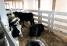 Телята бычки на откорм 02. 10. 17гр